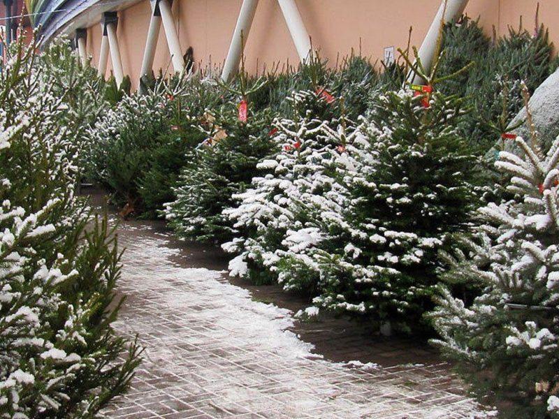 Елочные базары начнут работать в Лиде 18 декабря.