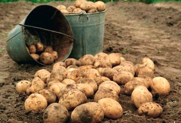 Безработных лидчан приглашают на временные работы по сортировке рассады клубники и переборке картофеля