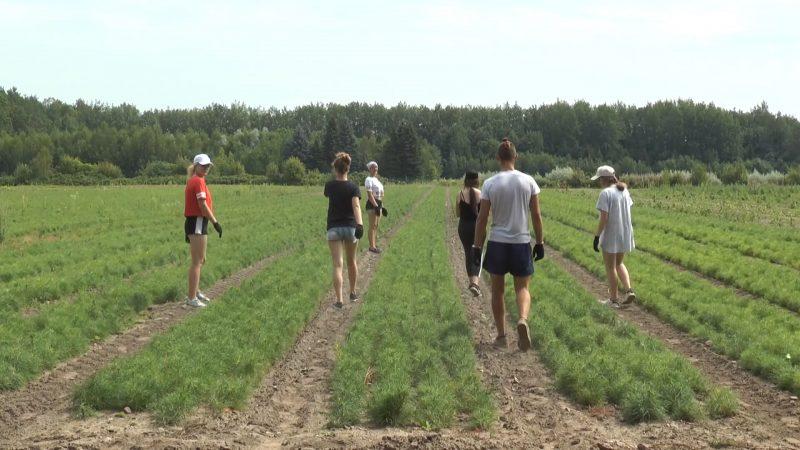 В Лидском лесхозе в понедельник начал работу студенческий отряд