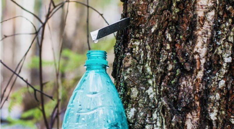 Лесхозы Гродненщины начали заготавливать березовый сок