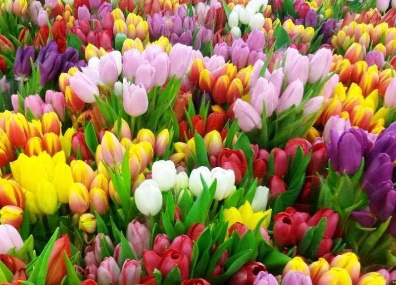 К 8 Марта служба зеленого хозяйства Лидского ЖКХ подготовила ассортимент из 9 сортов голландских тюльпанов