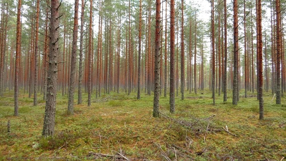 В лесу в районе Рыбиновского в Лиде проведена проходная рубка