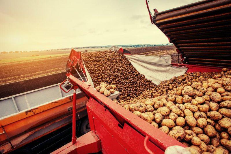Лидчан приглашают на временные работы по уборке картофеля