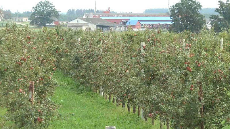 Более тысячи тонн яблок планируют собрать в этом году в хозяйстве «Можейково»